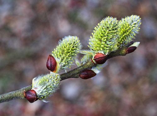 willow inflorescence the basis of