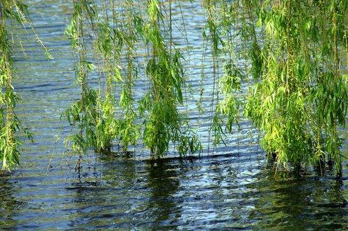 willow  tree  foliage