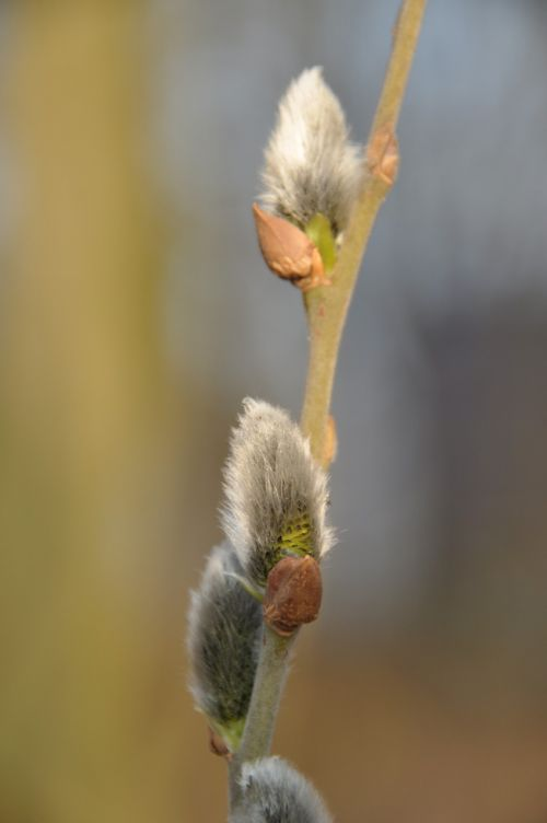 willow catkin spring branch