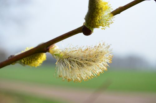 willow catkin pasture inflorescence
