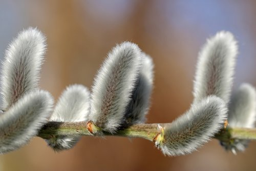 willow catkin  bush  nature