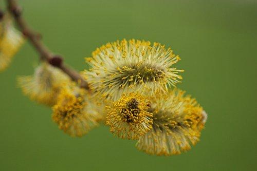 willow catkin  pasture  nature