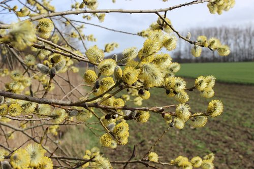 willow catkin  flowers willow  flowers