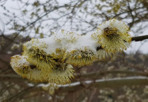 willow catkins snow frost