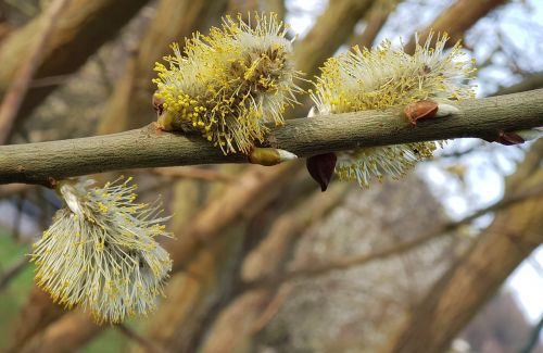 willow catkins tree nature