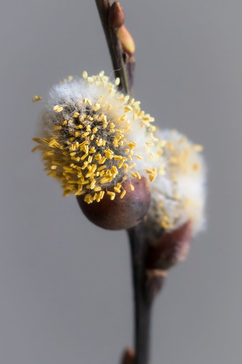 willow catkins  kitten  branch