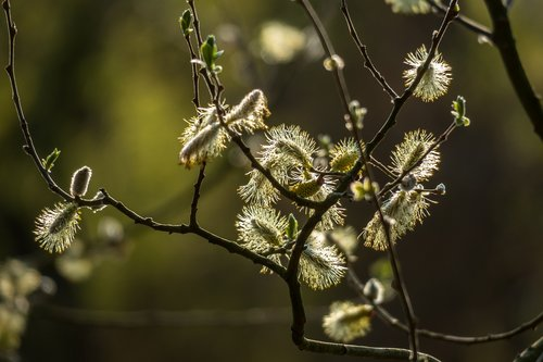 willow catkins  kitten  pasture