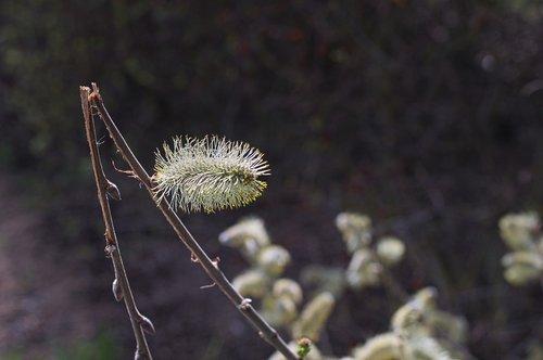willow kätzschen  pasture  bush
