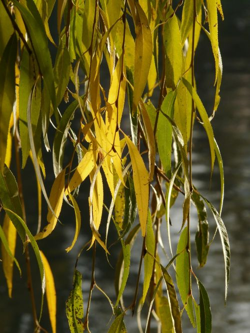 willow leaves leaves silver willow