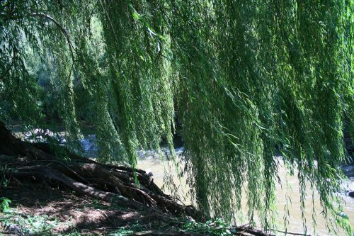 Willow Trees Over River