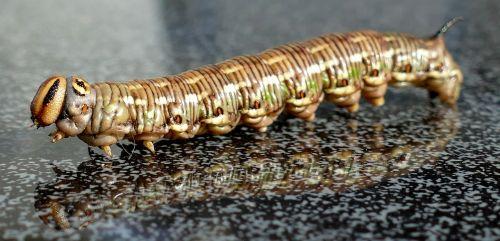 winch hawk moth caterpillar sting