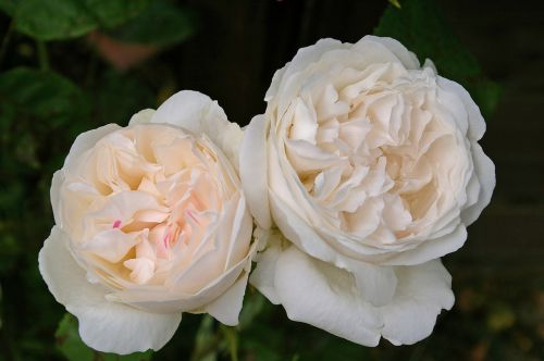 winchester cathedral rose rose english rose