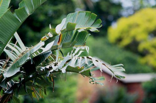 Wind Torn Strelitzia Leaves