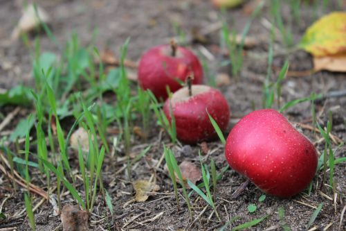 windfall apple red