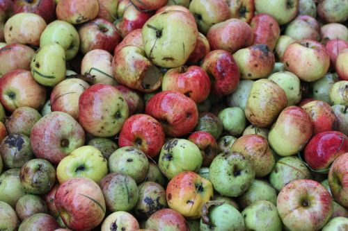 windfall apple food