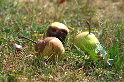 windfall  lazy  fruit
