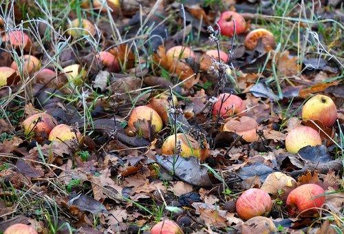 windfall  winter  apple