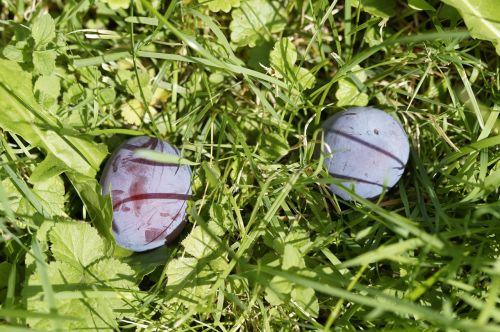 windfall plums grass