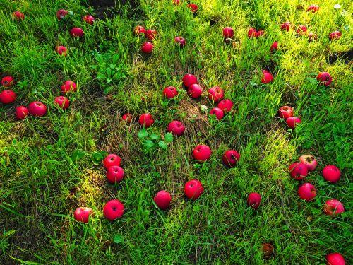 windfall apple fruit