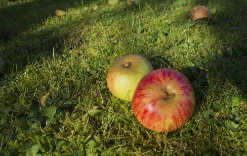 windfall apple ripe