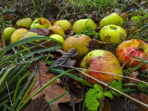 windfall apples apples autumn