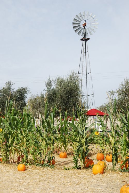 windmill,farmland,pumpkin patch,wind,corn stalk,stalk,pumpkin,natural,farm,energy,natural resource,natural energy