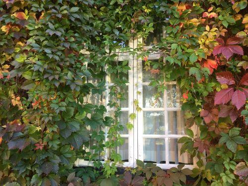 window climbing plant virginia creeper