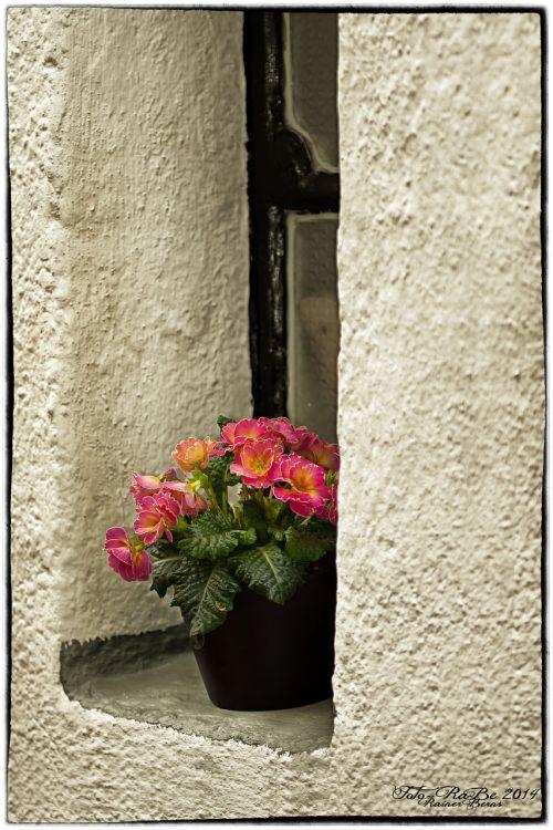 window primrose flower