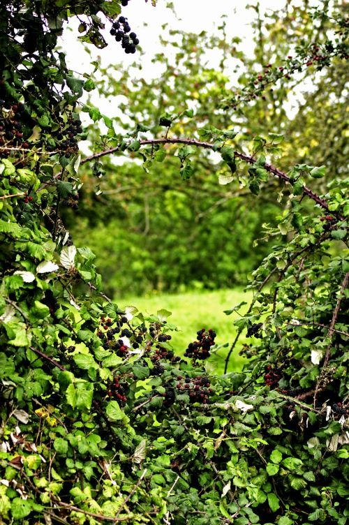 window hedge hedges