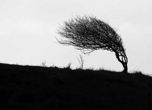 windswept tree cliff top