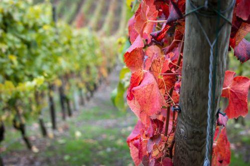 wine vine pile