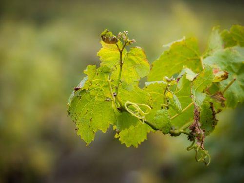 wine vine wine leaf