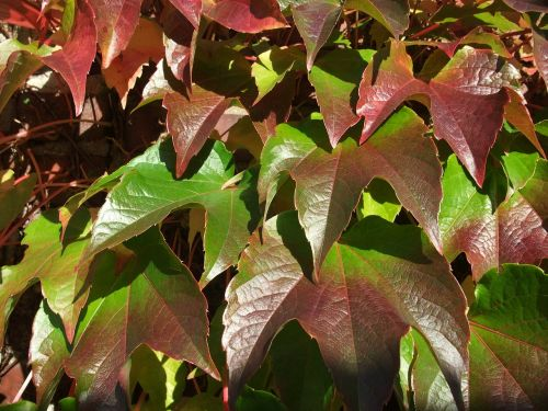 wine climber leaves