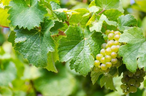 riesling white wine grape harvest