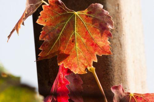 wine leaf wine harvest