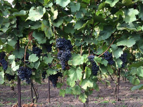 wine vineyard cluster