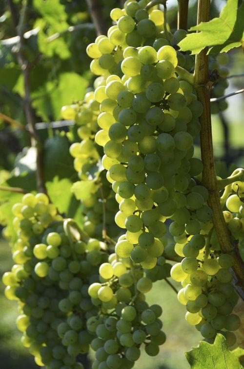 wine grapevine vine
