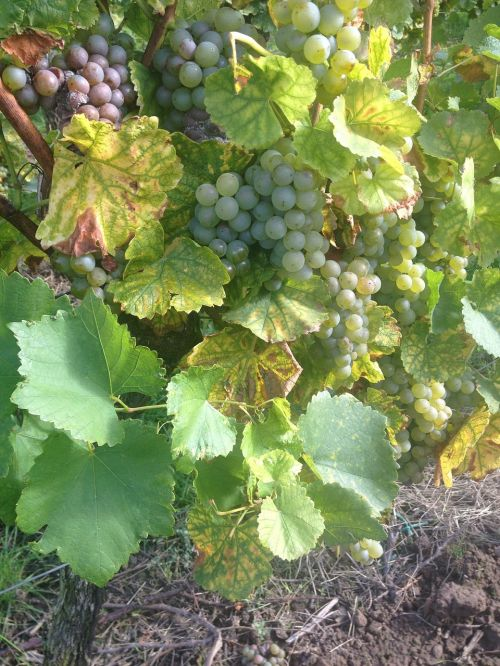 wine grapes winegrowing