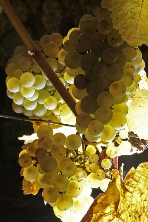 wine grapes fruit