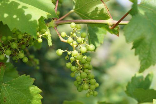 wine grape winegrowing