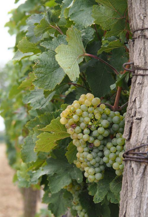 wine vine grapevines