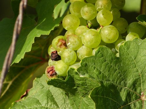 wine benefit from grapes