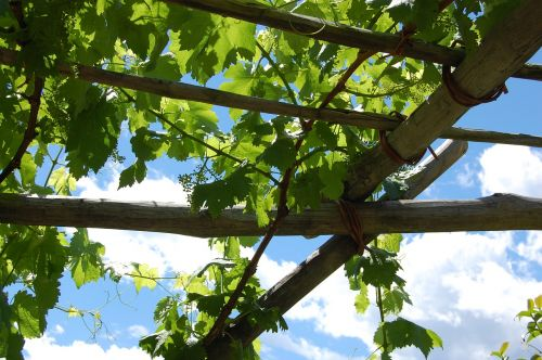 wine vine grapes