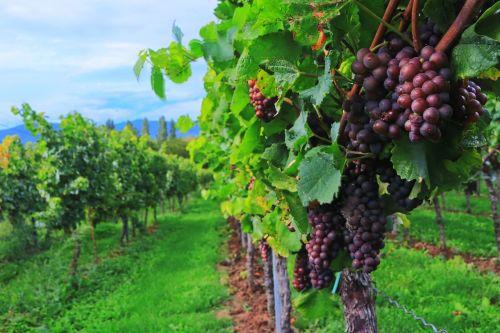 wine wine harvest grapes