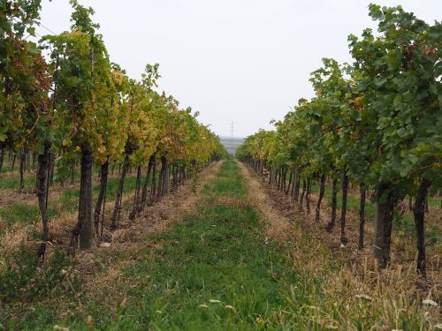 wine vineyard vines