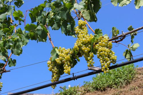 wine grapes green grapes