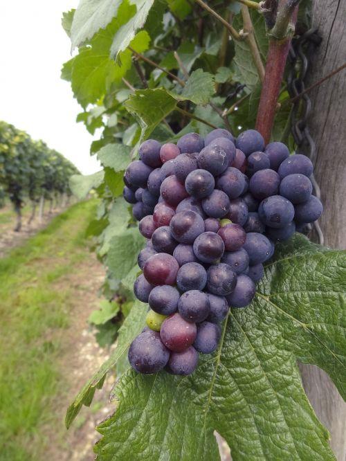 wine vine grape