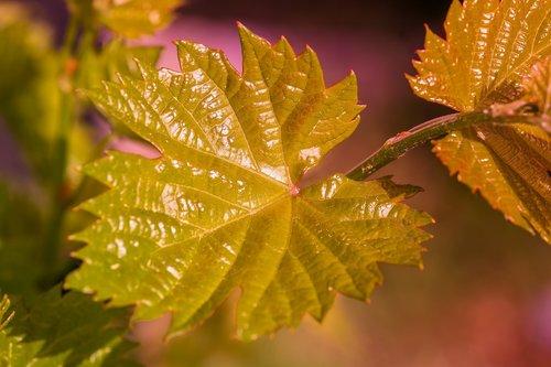 wine  wine leaf  leaf