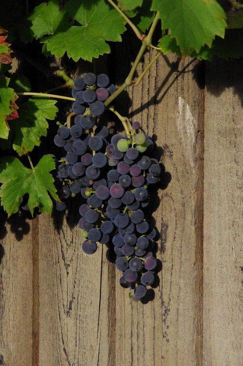 wine  nature  grapes