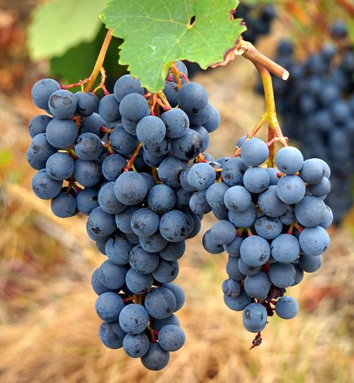 wine  vines  grapes